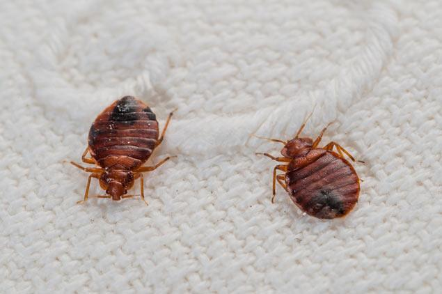 Bed bugs are increasing in bengaluru pls take care for How do i prevent bed bugs
